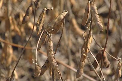 Урожайность сои в Приамурье ожидается ниже прошлогодней