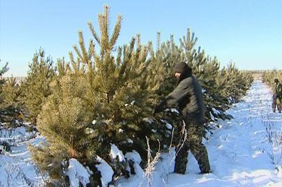 К новому году в Приамурье вырубят 17 тысяч сосен
