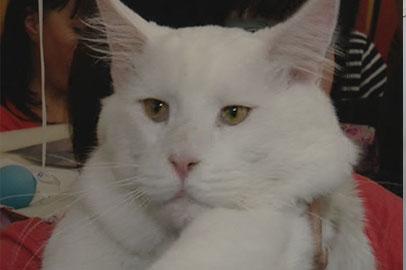 В большинстве на выставке кошек в Благовещенске оказались мейн-куны