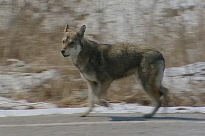 В Райчихинске начинают борьбу с бродячими собаками