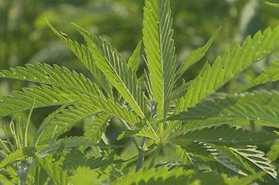 Бороться с наркоманией амурскому наркоконтролю поможет Минсельхоз области
