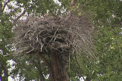 Гнезда аистов во время весенних пожаров в Приамурье не пострадали