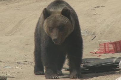300-килограммового медведя застрелили в Кувыкте