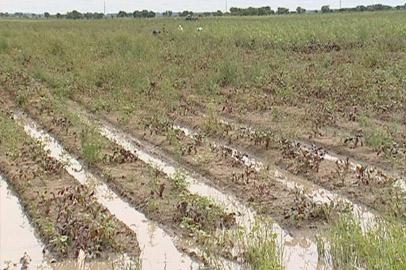 Овощеводы Благовещенского района подсчитывают убытки от наводнения