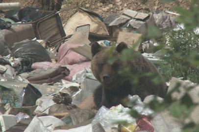 Медведица с двумя детенышами бродила по окраинам Февральска