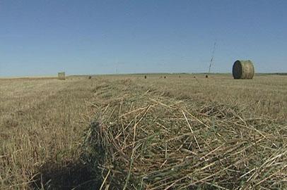 Из-за постоянных дождей во многих хозяйствах Приамурья испортилось заготовленное сено