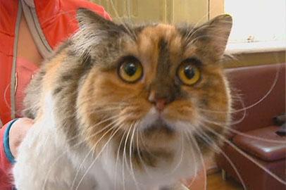 «Осенний бал» кошек всех пород состоялся в Благовещенске