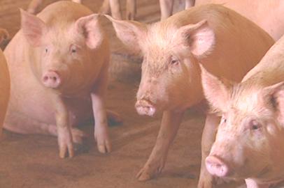 Ящур в селе Ровное предварительно подтвержден у свиней