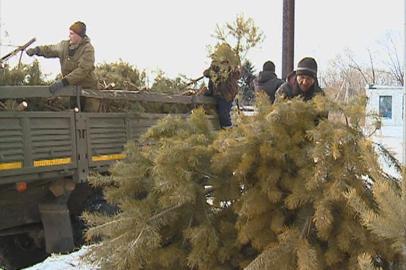 Почти тысяча новогодних сосенок разошлись в Благовещенске за считаные дни