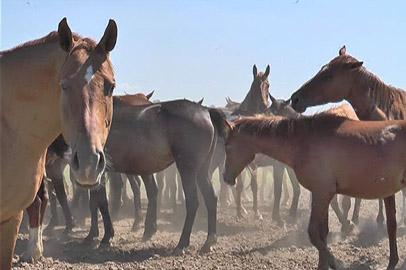 В зейском клубе «Пикан» разводят лошадей буденовской породы