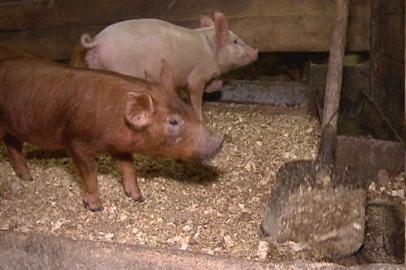 В Приамурье свиней привили против ящура