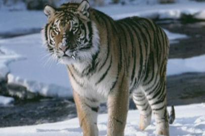 Раненого тигра обнаружили в Архаринском районе