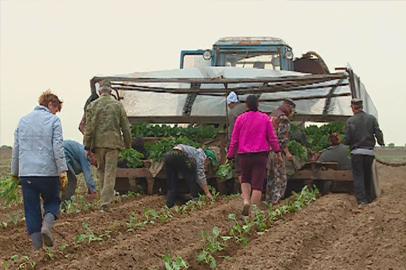 Гродековские растениеводы делают ставку на капусту