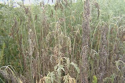 Площадь произрастания конопли в некоторых районах Приамурья сократилась на 80%