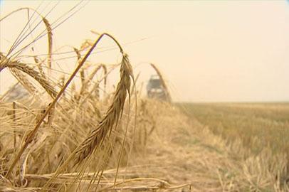 Амурские аграрии обработали более 80% посевов зерновых