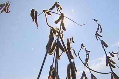 Амурские аграрии рассчитывают получить около 900 тысяч тонн сои