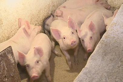 В Приамурье взяли курс на интенсивное развитие свиноводства