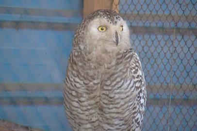 Полярная сова поселилась в эколого-биологическом центре Благовещенска