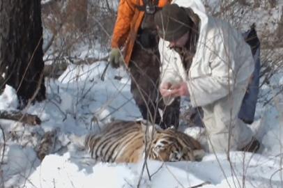 Найденного амурского тигра обследовали на томографе