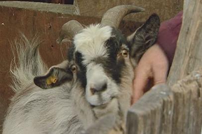 Амурские фермеры сделали ставку на символы наступившего года