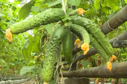 Новый тепличный комплекс сможет обеспечивать амурчан овощами круглый год