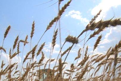Амурские хозяйства приступили к жатве пшеницы