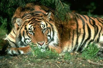 В Приамурье в выходные отпразднуют День тигра