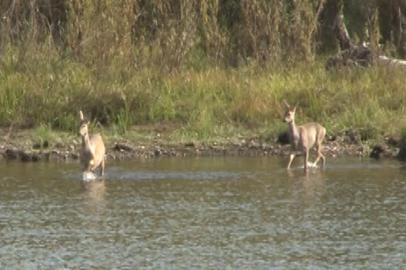Амурские охотоведы изучают особенности миграции косуль