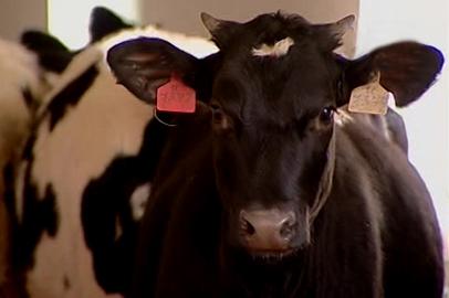 Черно-пестрые голштинофризы набирают популярность в амурских хозяйствах