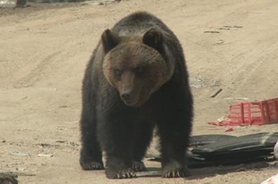 В Белогорском районе медведь напугал детей
