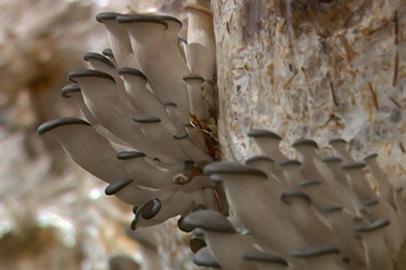 О грибоводстве в Приамурье