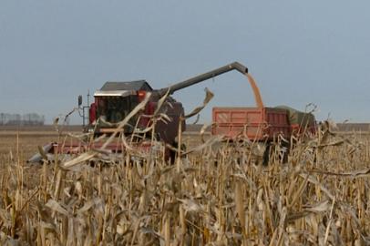 Об уборке кукурузы на зерно