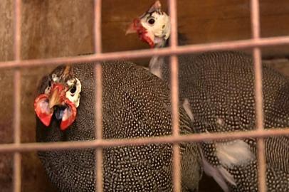 Фермер из Зейского района разводит невиданные на севере породы пернатых