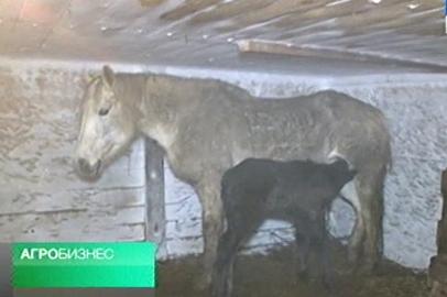 АГРОБИЗНЕС: Подворья получателей грантов пополнились новорожденными жеребятами, бычками и поросятами