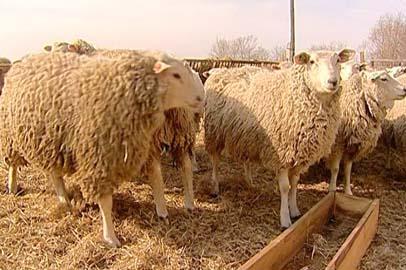 Амурский фермер решил возродить в области овцеводство