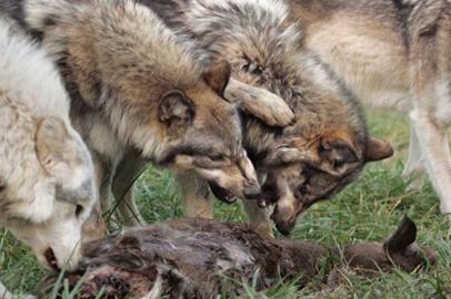 Почти две тысячи волков подлежат отстрелу на севере Приамурья