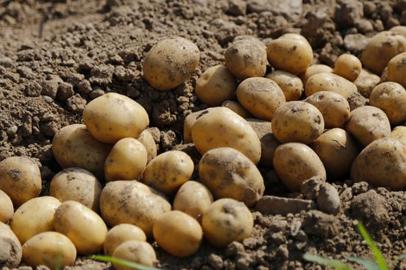 Амурские аграрии приступили к посадке картофеля