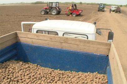 На амурских полях идет активная посадка картофеля