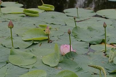 Новые виды лотосов начали распускаться на озере в Ивановке