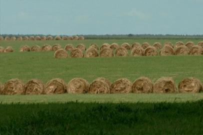 Крупные хозяйства Приамурья помогут владельцам ЛПХ с кормами для скота