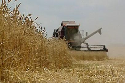 Жатва пшеницы в Приамурье стартовала с опозданием