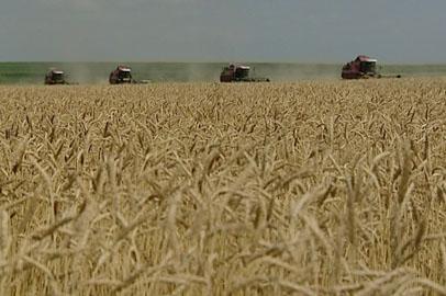 Урожай зерновых в Приамурье превышает прошлогодние показатели