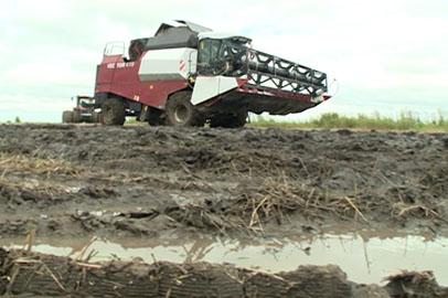 Амурские земледельцы спасают вымокшее зерно