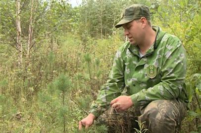 Амурские охотоведы высадили в Березовском заказнике 150 сосенок