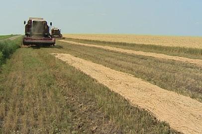 План по уборке ранних зерновых в Приамурье выполнен на 91%