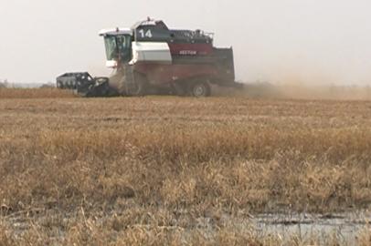 Высокая влажность зерна мешает амурским аграриям начать массовую уборку сои