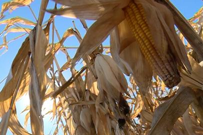 Амурские земледельцы приступили к уборке кукурузы