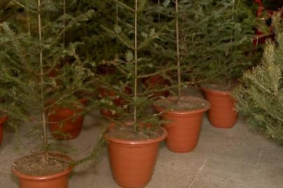 В Благовещенске началась торговля новогодними елками
