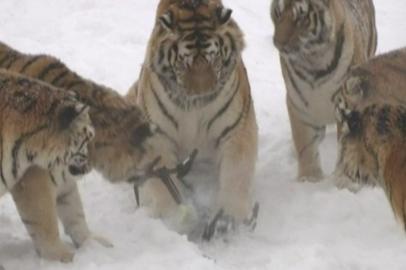 В харбинском парке тигры поохотились на шпионивший за ними дрон