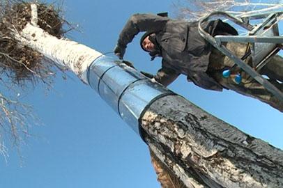 В Хинганском заповеднике опробовали новый метод защиты аистиных гнезд